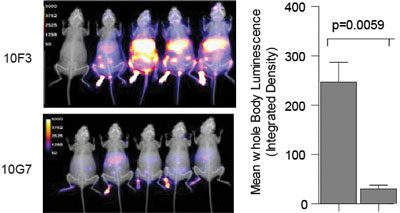 Treatment with blocking 10G7 but not with non-blocking 10F3 monoclonal antibody decreases overall virus loads as determined by whole body imaging.