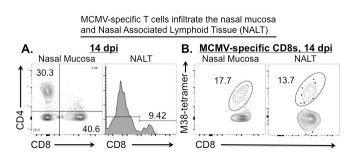 image1 - Immunity to cytomegalovirus in mucosal tissues