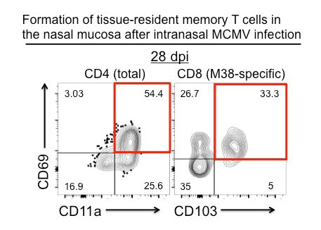 image2 - Formation of tissue-resident memory T cells in the nasal mucosa after intranasal MCMV infection